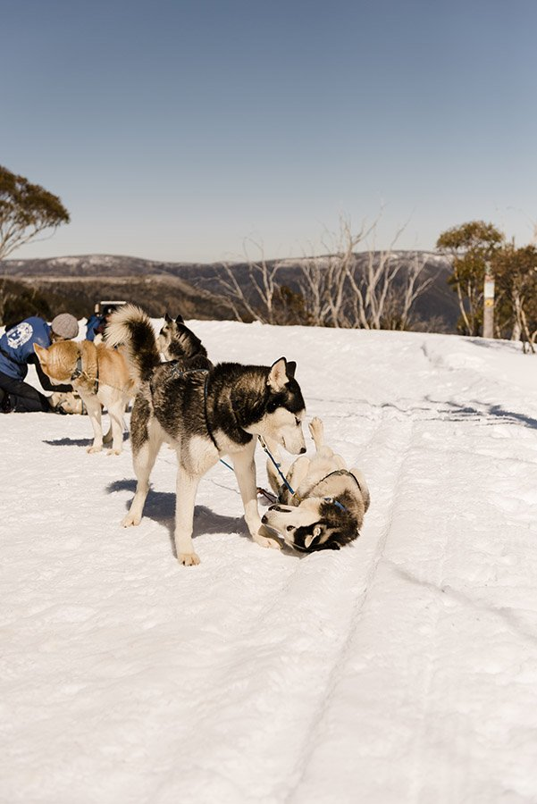 Sled dogs visit the Eco-village